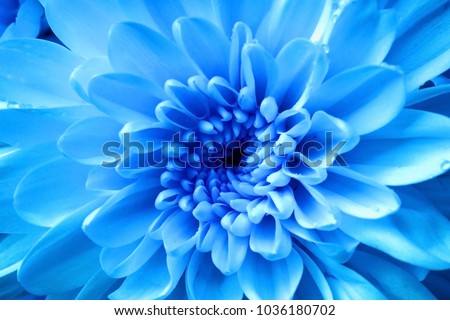 Blue flower, Close up petal of blue Chrysanthemum flowers or blue flowers image use for web design and blue flowers background