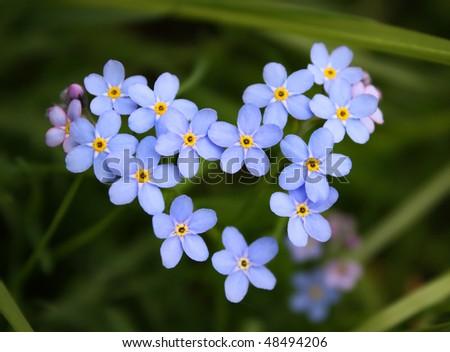 Blue flower. Heart - stock photo