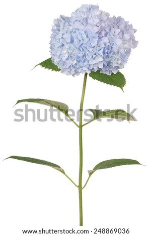 Blue flower hydrangea on white background. Clipping path inside - stock photo