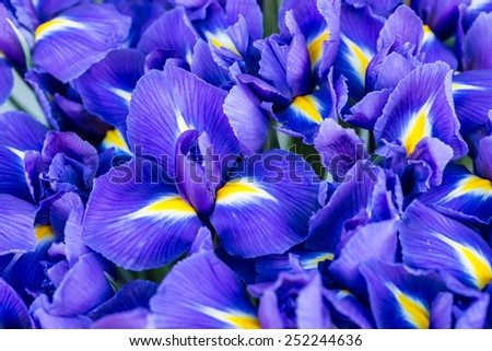 Blue flower irises- nature spring sunny background. Soft focus with bokeh - stock photo
