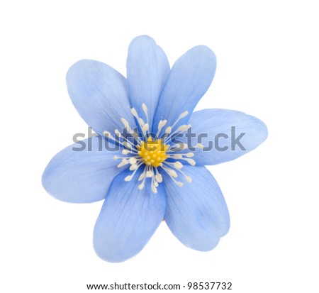 blue flower isolated on white background - stock photo