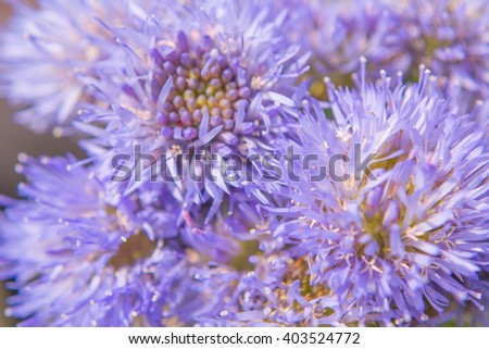 Blue flower. Jasione montana. Soft focus. Macro - stock photo