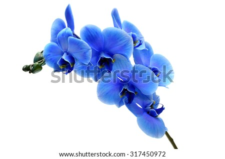 Blue flower orchid isolated by clipping path on white background - stock photo