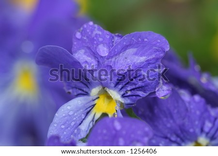blue flower with rain drops