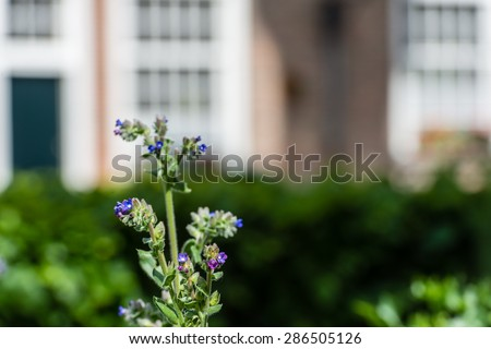 Blue flowering Anchusa officinalis or common bugloss in the herb garden of a Dutch beguinage. Different medicinal properties are attributed to the plant. - stock photo
