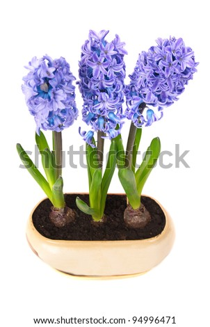 Blue flowers hyacinthes with green leaves in the flowerpot isolated on white