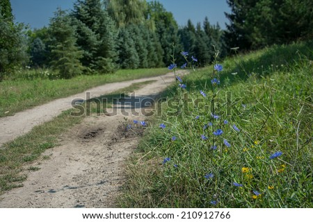 blue flowers of chicory along the road - stock photo