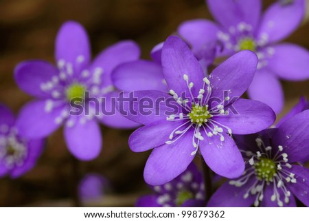 Blue flowers of Hepatica nobilis close up. Shallow depth of field. - stock photo