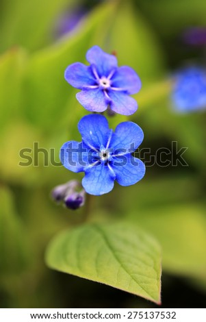 Blue flowers of Omphalodes verna, also known by common names Creeping Navelwort or Blue-eyed Mary, close up at spring. Shallow dof, suitable for greeting cards or backgrounds. - stock photo
