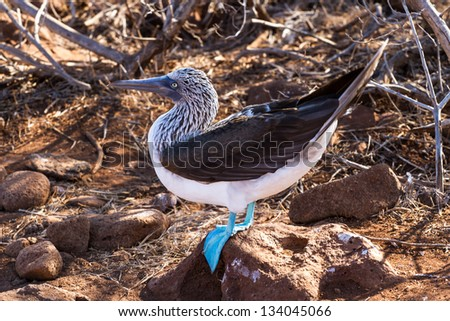Blue-footed Boobie - stock photo