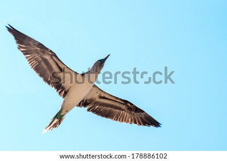 Blue-footed boobie. Galapagos, Ecuador - stock photo