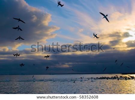blue footed boobies dive at sunrise fishing. santa cruz island, galapagos - stock photo