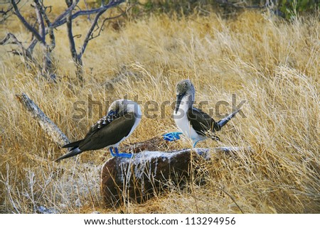 Blue-Footed Boobies doing mating dance on Galapagos islands, Ecuador, South America - stock photo