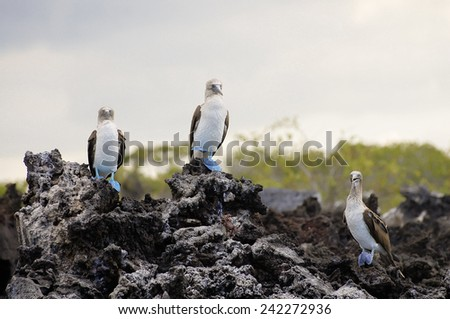 Blue Footed Boobies - Galapagos - Ecuador - stock photo