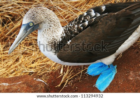Blue Footed Booby - a bird endemic to Galapagos Islands, Ecuador