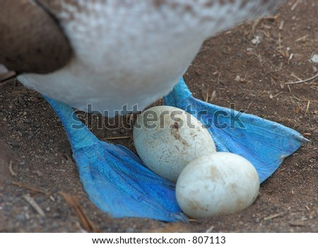 Blue Footed Booby Eggs - stock photo