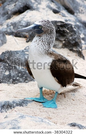 Blue-footed Booby.Galapagos islands. - stock photo
