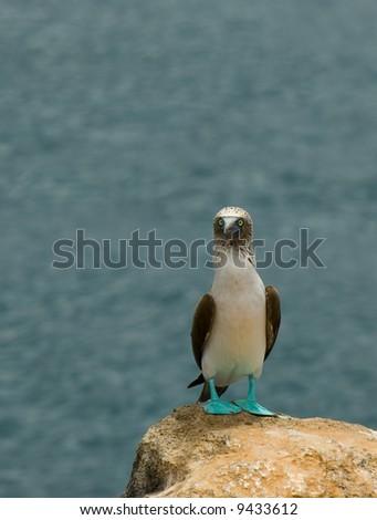 blue-footed booby, galapagos islands, ecuador - stock photo