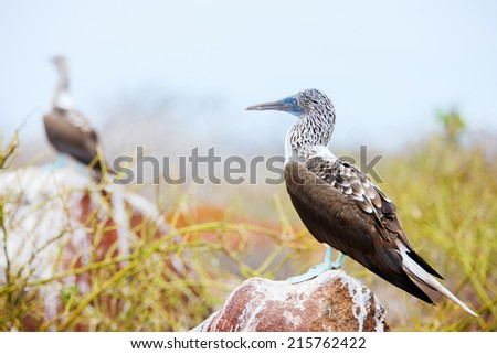 Blue footed booby on a rock at Galapagos island of North Seymour - stock photo