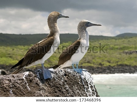 Blue-footed booby. San Cristobal island, Galapagos - stock photo