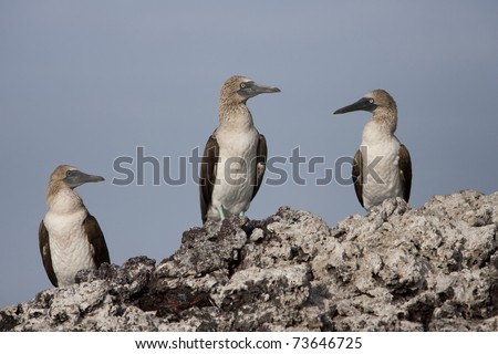 Blue-footed Booby (Sula nebouxii excisa), group relaxing on a rock off of Isabela Island, Galapagos. - stock photo