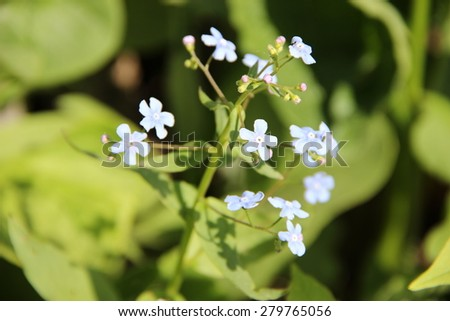 Blue forget me not flowers on a summer meadow - stock photo