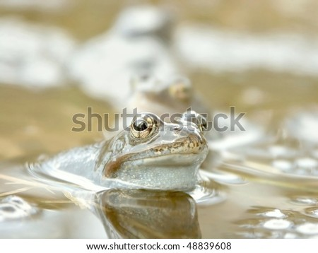 Blue frog floating in a pond near the forest. Photo taken in April. - stock photo