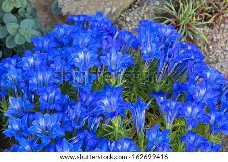 blue gentian spring  flowers on rockery - stock photo