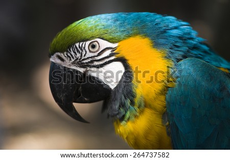 Blue & Gold Macaw parrot face - stock photo