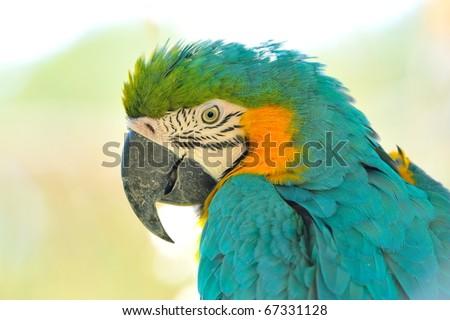 blue & gold macaw portrait - stock photo