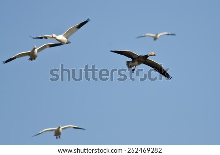 Blue Goose Flying in a Blue Sky - stock photo