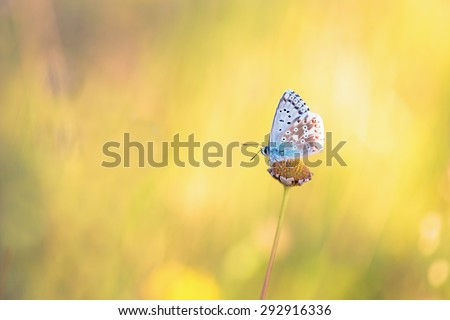 Blue Gossamer winged Butterfly in the evening sun with blurred background. Macro with very shallow depth of field Intended Blurredness. Lovely Bokeh - stock photo