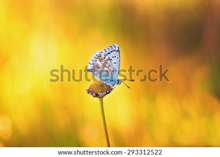Blue Gossamer Winged Butterfly on a lovely warm summer evening. Macro with very shallow depth of field and amazing yellow orange bokeh - stock photo