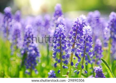 Blue grape hyacinth or 'muscari armeniacum' with shallow dof in dutch spring garden 'Keukenhof', Holland - stock photo