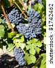 blue grape in Bordeaux Region, Aquitaine, France - stock photo
