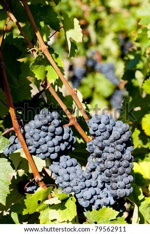 blue grape in Bordeaux Region, Aquitaine, France - stock photo
