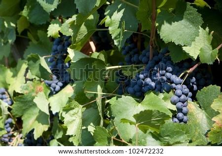 blue grape in europe vineyard - stock photo