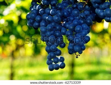 Blue grapes and green bokeh in a vineyard