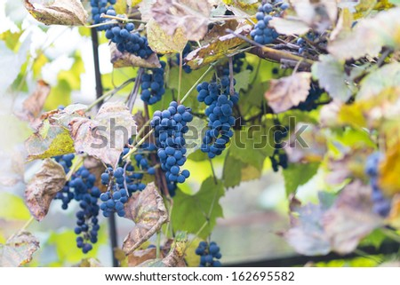 Blue grapes before harvesting on a background of yellow foliage - stock photo