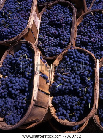 Blue grapes in wedges after the harvest in France - stock photo