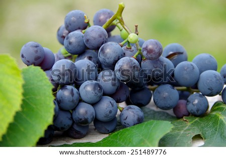 Blue grapes on wooden table in autumn - stock photo