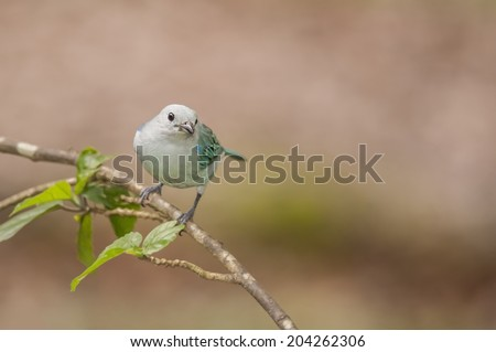 Blue-gray tanager perched in a tree photographed in Costa Rica. - stock photo