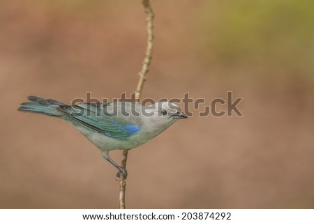 Blue-gray tanager perched photographed in Costa Rica. - stock photo
