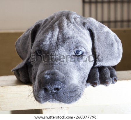 Blue Great Dane puppy that looks as if it is exhausted - stock photo