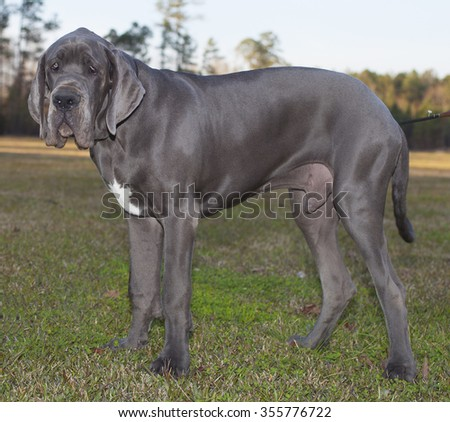 Blue Great Dane standing on the grass as the sun is going down - stock photo