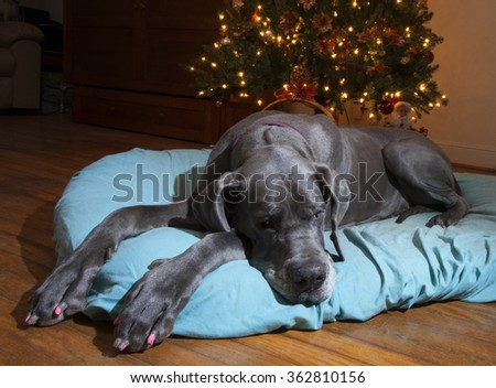 Blue Great Dane that looks exhausted after the holidays - stock photo