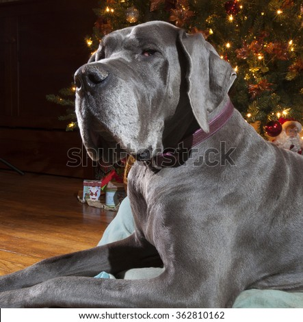 Blue Great Dane that seems to dwarf a Christmas tree behind - stock photo