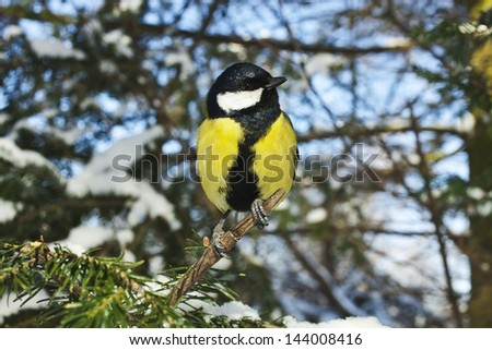 Blue Great Tit in the snow fir tree in winter forest, christmas card - stock photo
