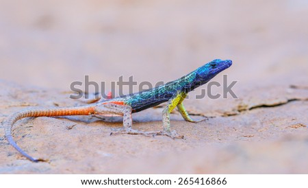 Blue-headed lizard on granite rock, South Africa - stock photo