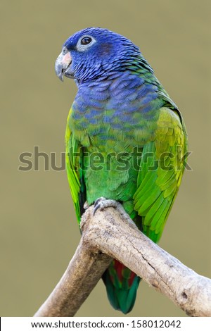 Blue-headed Parrot (Pionus menstruus) - stock photo